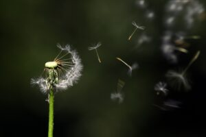 Dandelion seed blowing in the wind. Stimulus check picture